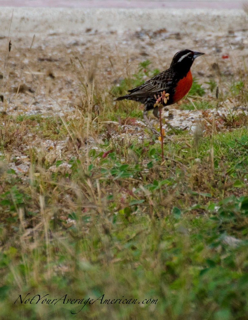 A Peruvian Meadowlark found on the airbase at Salinas. Un Pastorero Peruano se encuentra el el base aérea de Salinas.