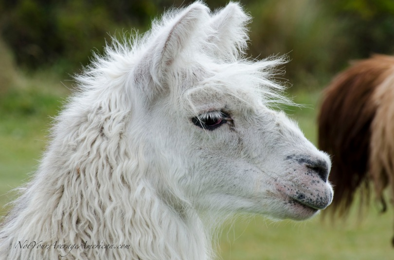 Llama or Alpaca? Do you know how to tell the difference?