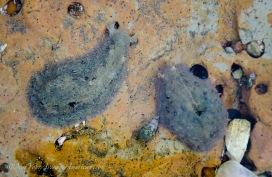 A pair of sea slugs.