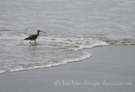 A whimbrel - he was the lone bird we saw walking along the coast.