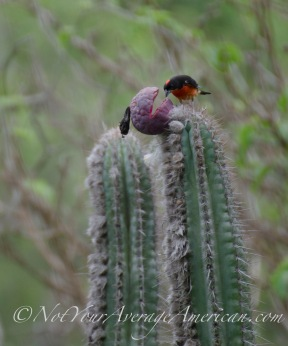 A Crimson-breasted Finch enjoying the neon pink fruit of a local cactus.