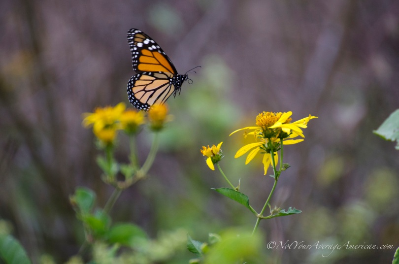 A monarch butterfly on the coast near Bahia de Caraquez, Manabí, Ecuador.