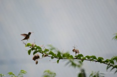 An Amazilia Hummingbird in the distance.