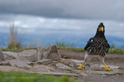 Who knew that a Caracara could act so much like a chicken?