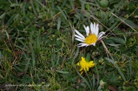 Tarugarinri (the white flower) can be used in a similar way to valerian. Urcutañi (the yellow flower) often grows nearby.