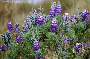 Allpatauri is a wild form of lupine similar to a variety that is cultivated for its bean, the chocho. However, the wild beans are poisonous.
