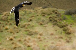 Coming around to check us out - the Carunculated Caracara