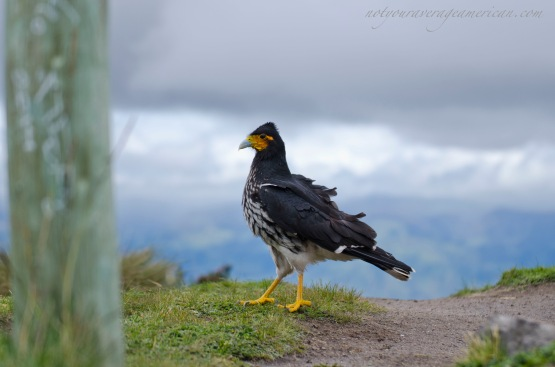 This Caracara has a proud strut as he kept his eye on our lunch.