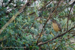 A Tawny Antpitta seeking cover of the brush.