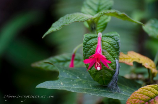 A fuschia - most likely a variety that was introduced but has now taken off in the wild.