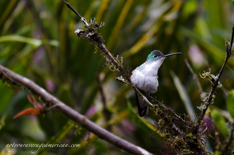 Andean Emerald Hummingbird eyeing the feeders in the gardens at Alambi.