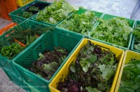 Lettuces in a myriad of colors and varieties.