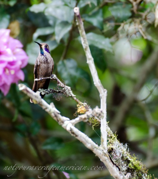 This uncommon hummingbird, a Brown Violetear, makes its home near Alambi, Ecuador. The only spots of color are the violet on the sides of his head and the splash of green and violet at his throat. Capturing all colors at the same time is a rare event... almost as uncommon as seeing the hummingbird itself!