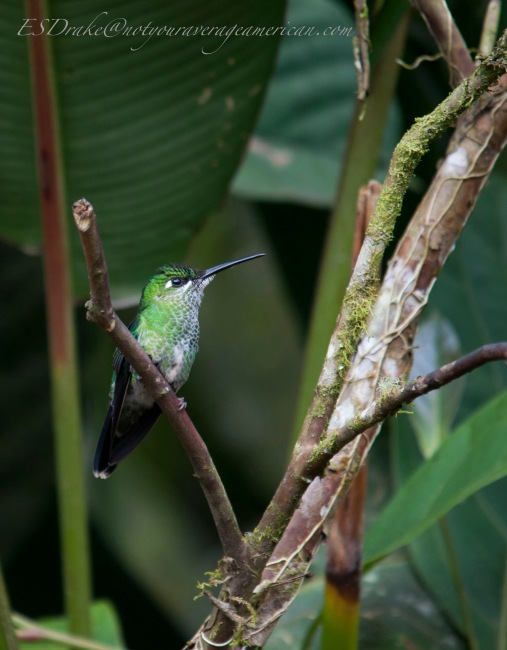 Female Green-crowned Brilliant