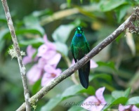 A striking view of a Green-crowned Brilliant