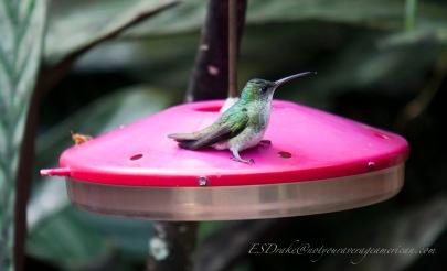 A female Andean Emerald taking a break.