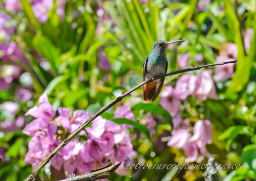 A Rufous-tailed Hummingbird with an unexpected blue green glow.