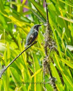 A female White-bellied Woodstar Hummingbird
