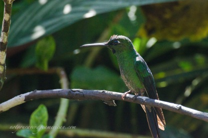 A common Green-Crowned Brilliant.