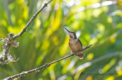 Female White-bellied Woodstar Hummingbird.