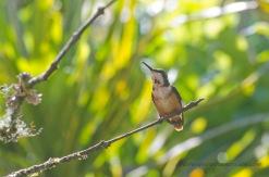 Female White-bellied Woodstar Hummingbird.