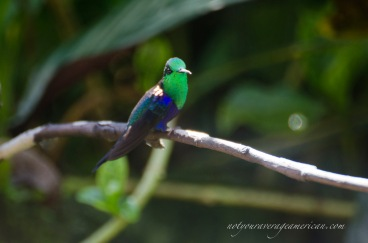Green-crowned Woodnymph, another common hummingbird of the western subtropics of Ecuador.