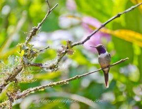 Purple-throated Woodstar Hummingbird.