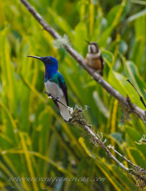 White-necked Jacobin in the forefront.