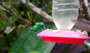 An unidentified but brilliantly colored hummingbird.