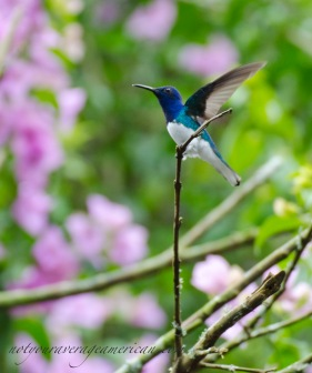 White-necked Jacobin stretching his wings.