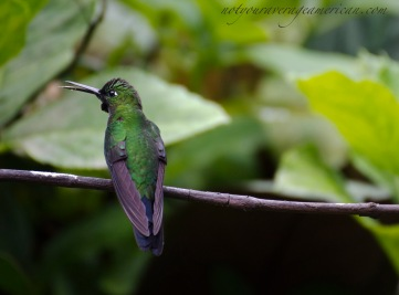 Backside of a vocal Green-crowned Brilliant Hummingbird