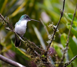 Andean-emerald Hummingbird