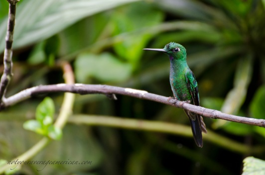 Green-crowned Brilliant