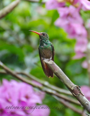A Rufous-tailed Hummingbird