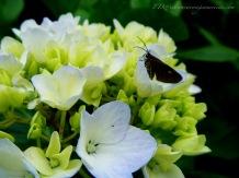A hydrangea in the wild.