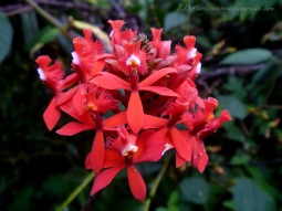 This is one of several varieties of flowers called Flor de Cristo - an orchid belonging to the Epidendrum family.