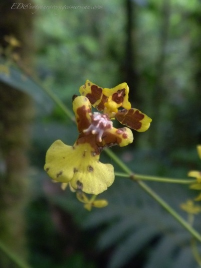 This orchid isn't in my book though that shouldn't be surprising as Ecuador has over 4000 varieties.