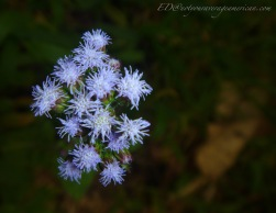 Wild Asters - from the ASTERACEAE family.