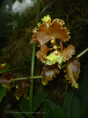 This wild orchid is related to the plant that produces vanilla. Crytochilum serratum