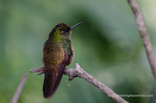 A Golden Breasted Puffleg Hummingbird (pufflegs confirmed in another photo)