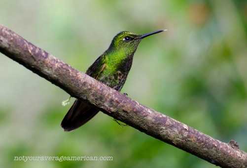 Is this the same Golden Breasted Puffleg in light that doesn't show those feathers on the chest or could it be a female Glowing Puffleg? The problems with id-ing hummingbirds in Ecuador!