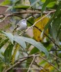 White-banded Tyrannulet