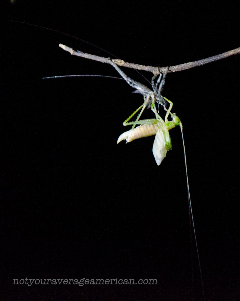 A grasshopper takes advantage of the dark night to change his clothes... photo was taken with ISO 25600 and assisted with a handheld headlamp.