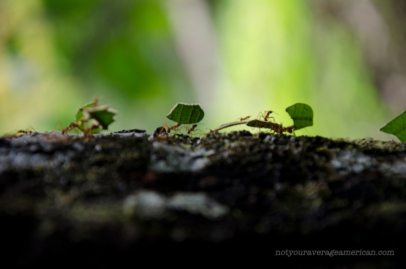 Leafcutter ants are a real thing! And you don't have to go too far in the wild to find them. These critters were all over the grounds at a local hostería in Puyo, Ecuador.