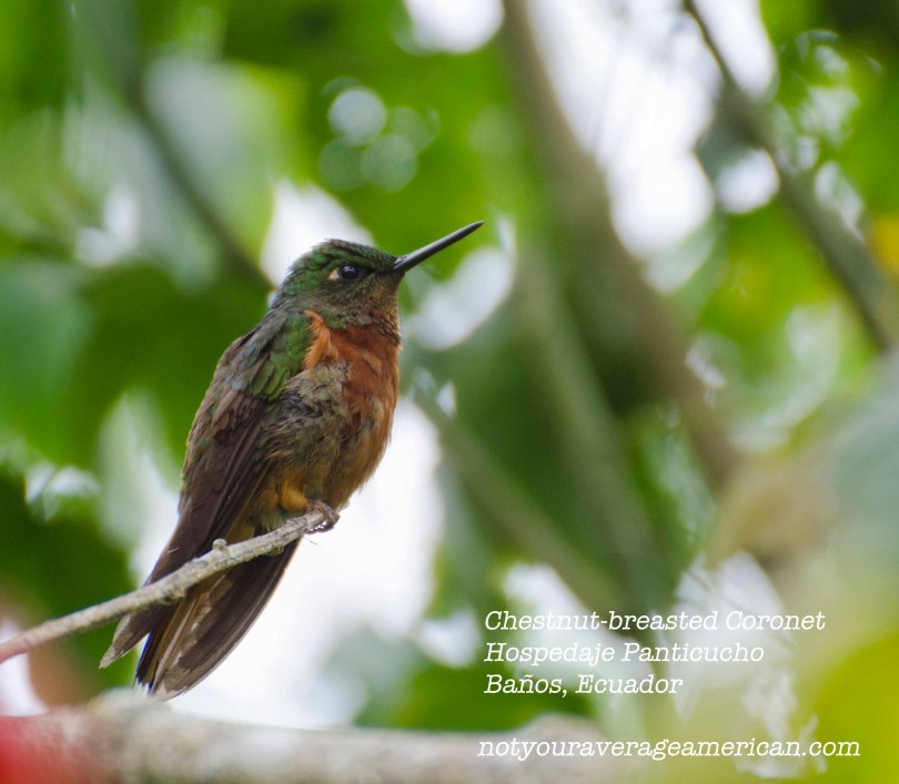 This lovely little bird was sitting above a trail at the Hospedaje Panticucho near Baños. He is a temperate loving bird and can be found in a narrow altitude range throughout the length of Ecuador.